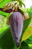 Bananenblume Lizenzfreie Stockbilder