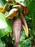 Bananenblume Lizenzfreies Stockfoto