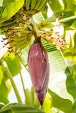 Bananenblume mit Früchten auf der Niederlassung Stockfotos