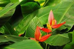 Bananenblumen und -blätter Lizenzfreies Stockbild