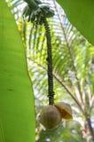 Bananenblumengrün stockfotos