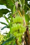 Bananengarten Stockbilder