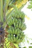 Bananengrün Stockfoto