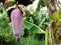 Bananenknospe auf Baum mit grünem Hintergrund Lizenzfreies Stockfoto
