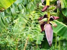Bananenknospe auf Baum mit grünem Hintergrund Stockfotos
