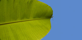 Bananenpalmblatt auf Blau Stockfoto