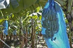 Bananenplantage lizenzfreie stockfotos