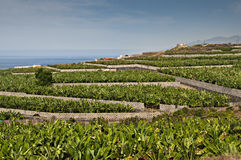 Bananenplantage Lizenzfreies Stockbild