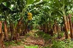 Bananenplantage auf der Westküste von Martinique Lizenzfreie Stockfotos