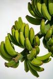 Bananenplantage, Bündel grüne Bananen, die auf Bananenstaude riping sind Lizenzfreies Stockfoto