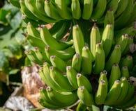 Bananenplantage, Bündel grüne Bananen, die auf Bananenstaude riping sind Stockfotos