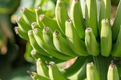 Bananenplantage, Bündel grüne Bananen, die auf Bananenstaude riping sind Stockbild