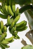Bananenplantage, Bündel grüne Bananen, die auf Bananenstaude riping sind Stockbilder