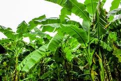 Bananenplantagegarten ist feucht und Regentropfen stockbilder