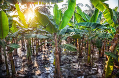 Bananenplantagen Stockfoto