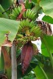 Bananenstaude Lizenzfreie Stockfotografie