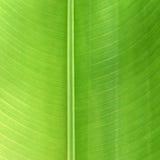 Bananenstaude-Blatt stockfotos