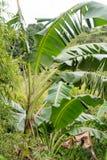 Bananenstaude in den Tropen Lizenzfreie Stockfotos