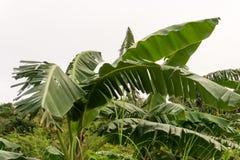 Bananenstaude in den Tropen Lizenzfreies Stockfoto