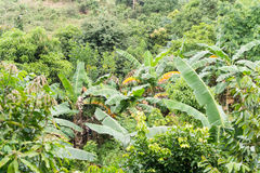 Bananenstaude in den Tropen Stockfotografie