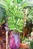 Bananenstaude im amazonischen aktuellen Dschungel, Nationalpark Yasuni lizenzfreie stockfotografie