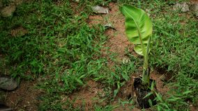 Bananenstaude ist wachsend lizenzfreie stockbilder