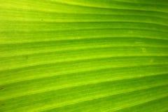 Bananenstaude in Maraoko Bananen Lizenzfreie Stockbilder