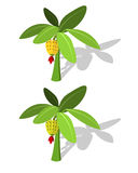 Bananenstaude mit Bananenfrucht Stockbilder