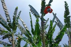 Bananenstaude mit Blume Stockfoto