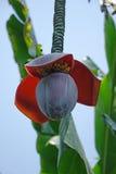Bananenstaude mit Blume Lizenzfreie Stockbilder