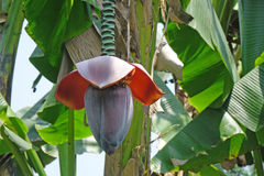 Bananenstaude mit Blume Lizenzfreies Stockbild