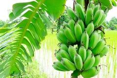Bananenstaude mit dem Bündel des grünen Wachsens roh lizenzfreie stockfotografie