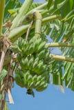 Bananenstaude mit einem Bündel Bananen Stockfotografie