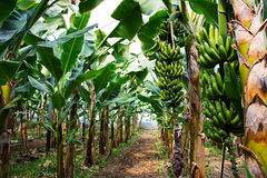Bananenstaude mit einem Bündel wachsenden Bananen stockfotografie