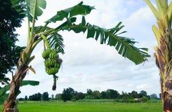 Bananenstaude mit grünen Bananen lizenzfreie stockbilder