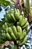 Bananenstaude in Philippinen Lizenzfreie Stockfotografie