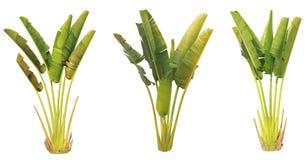 Bananenstaude und Blatt Stockfotografie