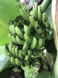 Bananenstaude und Frucht Stockfoto