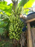 Bananenstaudebündel grüne Frucht Lizenzfreies Stockbild