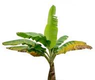 Bananenstauden auf weißem Hintergrund Lizenzfreie Stockfotografie