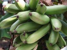 Bananenstauden mit Fruchtstand Stockbild