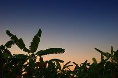 Bananenwaldung Stockbilder