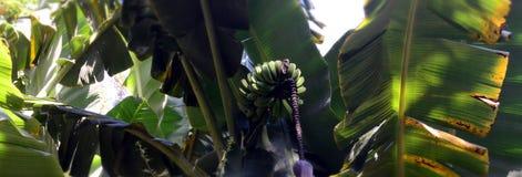 Bananer på trädnaturen Arkivfoto