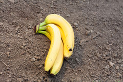 Bananer på jordning Fotografering för Bildbyråer