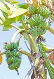 bananer samlar ihop två Arkivfoto