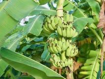 Bananer som växer på träd på den knäpp kolonin Royaltyfria Bilder