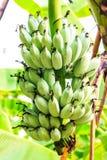 Bananes Photographie stock