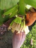 Bananes Photos stock