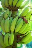 Bananes crues avec un élevage de groupe Images stock