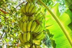 Bananes crues avec un élevage de groupe Photos libres de droits